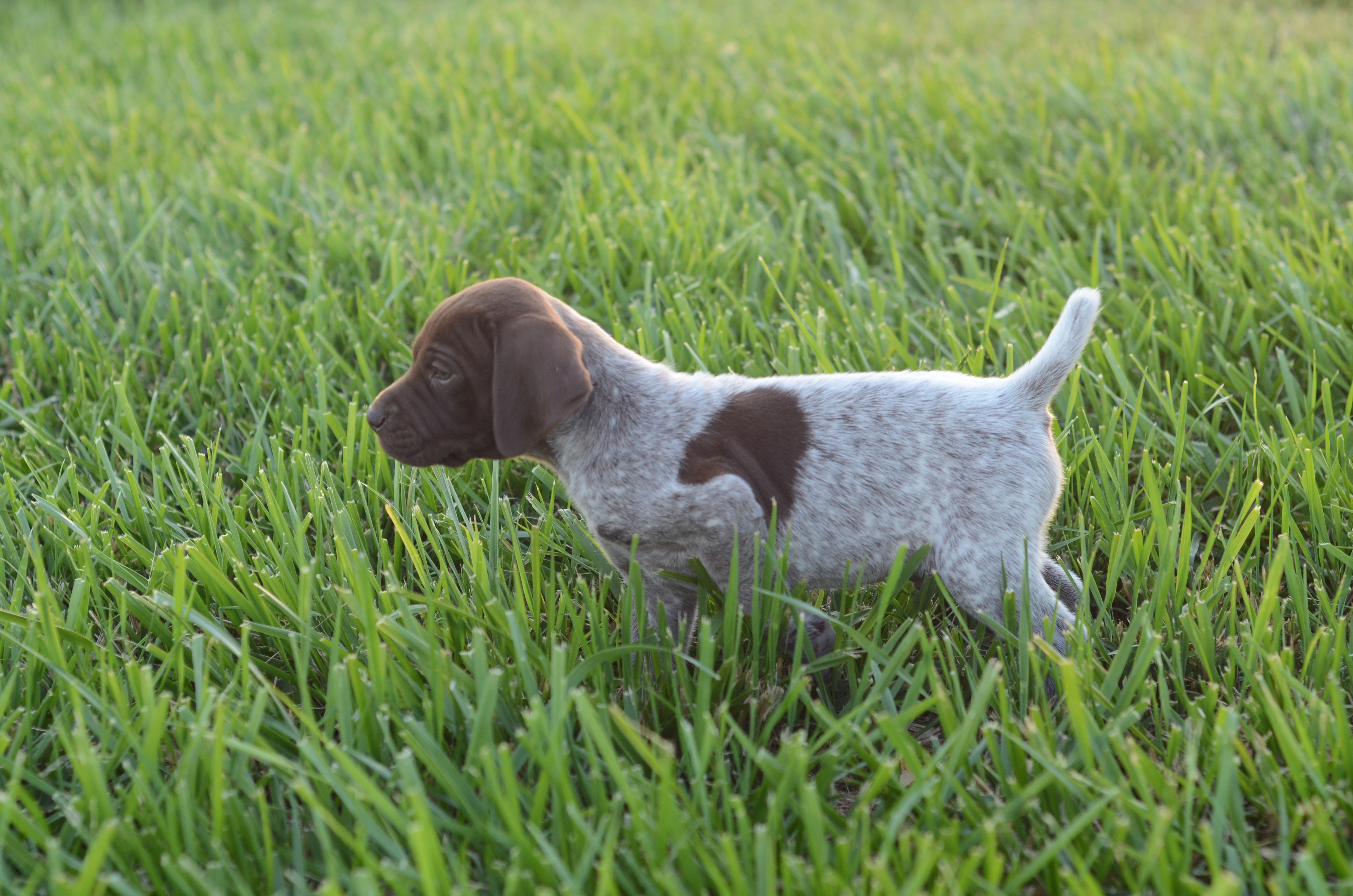 German Shorthaired Puppy