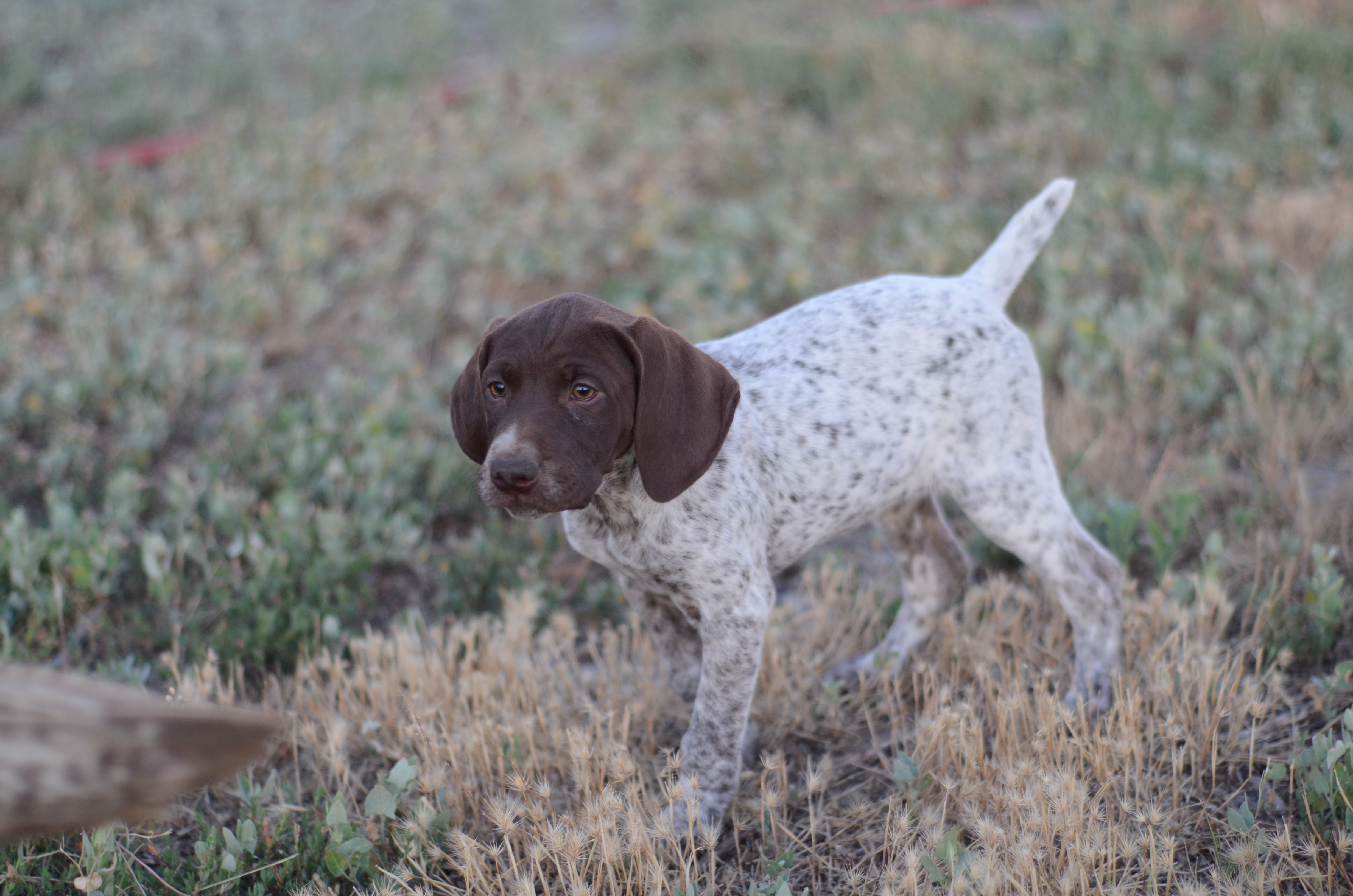 German Shorthaired Puppy Female #3
