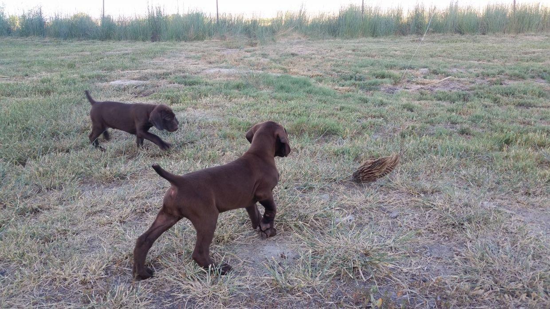 AKC GSP Puppies - Turning 7 weeks - Liver - Sammie x Ceasar - German ...