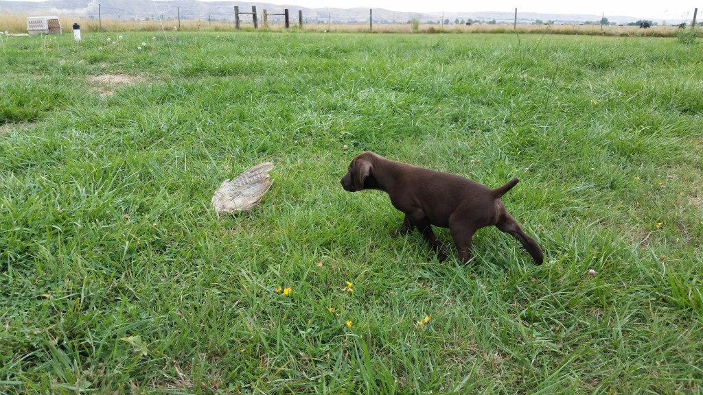 German Shorthair Puppy Pointing