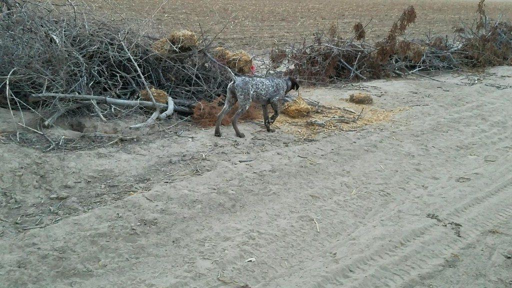Jager - GSP Pup - Sparks