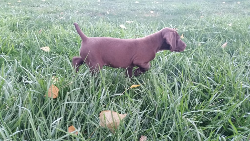 Liver German Shorthaired Pointer Puppy