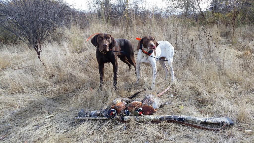 Ceasar & Josie GSP's Limit of Pheasants
